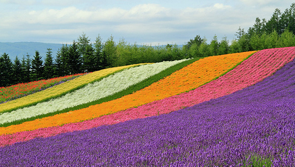 Island of Hokkaido (Summer)Lavender Season