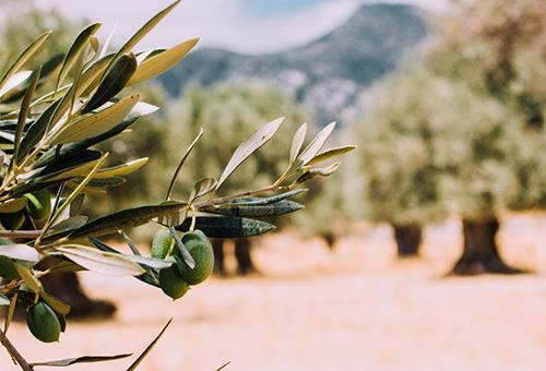 Tour Finca La Torre's sun-dappled olive groves