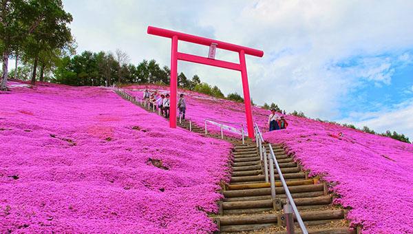 Island of Hokkaido (Spring)Pink Moss Viewing