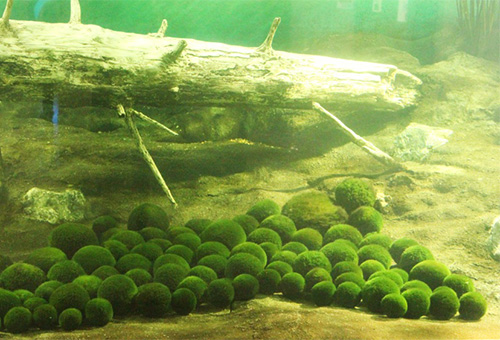 Lake Akan Marimo Algae