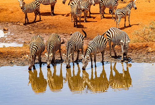 Zebras gathered at the water hole