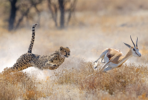 Cheetah on the hunt for lunch
