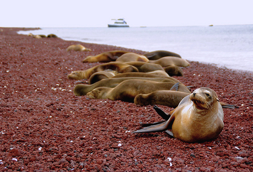 Sea Lions on red-colored beach