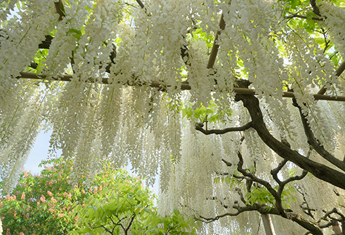 White Wisteria in Ashikaga Flower Park